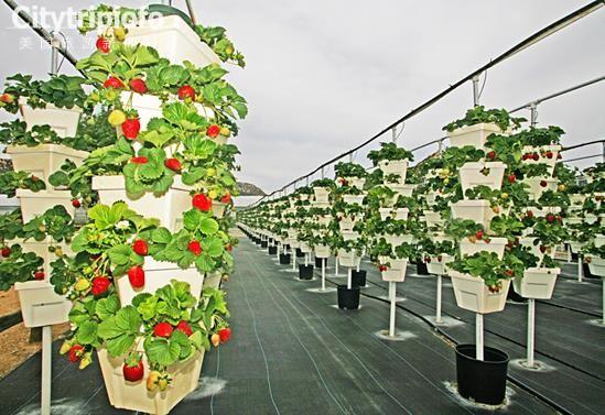 《美国洛杉矶周边采摘路线—草莓篇》