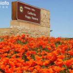 羚羊谷罂粟保留区  Antelope Valley California Poppy Reserve