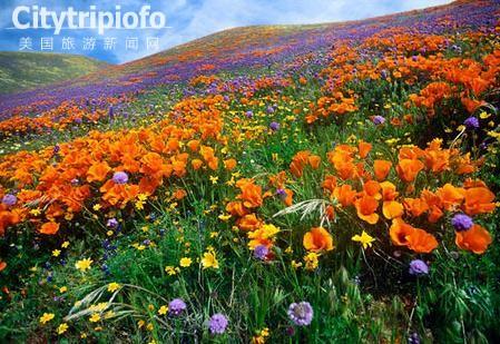 《羚羊谷罂粟保留区  Antelope Valley California Poppy Reserve》