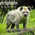 """日动物园闹乌龙 将两公鬣狗配对多年""""求子"""""""