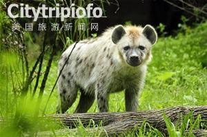 """《日动物园闹乌龙 将两公鬣狗配对多年""""求子""""》"""