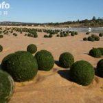 """澳大利亚海滩惊现绿色""""外星蛋""""引猜测(图)"""