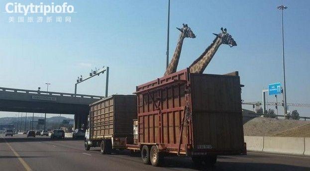 南非长颈鹿运送途中撞上天桥死亡(图)