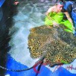 马尔代夫发生多起被鱼扎伤事件 在海边小心魔鬼鱼