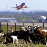 人家除草撒农药 美国波特兰机场放山羊