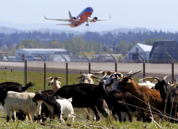 《人家除草撒农药 美国波特兰机场放山羊》