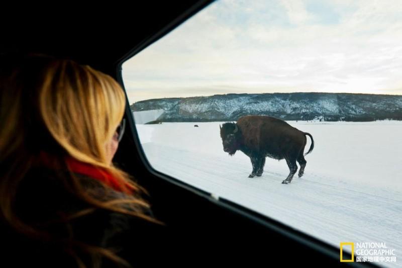 《黄石公园的野牛为何会袭击游客?》