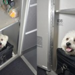 宠物陪你搭飞机  美国航空设「宠物厢座」