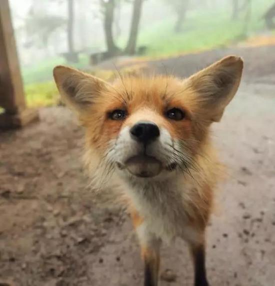 行影不离|日本人的狐狸情结